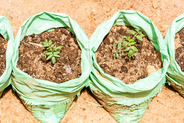 Young tomato plants growing in  two grow bags  outdoor
