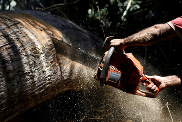 An employee uses a chainsaw to cut logs in Bom Retiro deforestation area on the right side of the BR 319 highway near Humaita