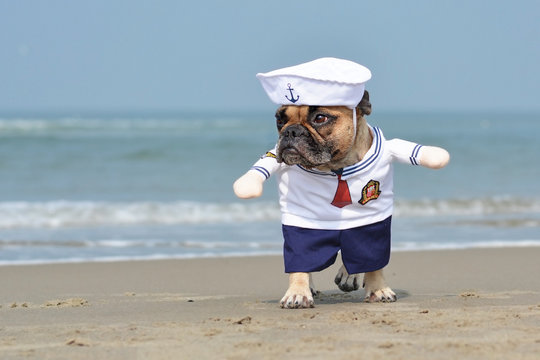 Walking funny French Bulldog dressed up with a cute sailor dog Halloween costume on beach with ocean in background
