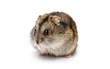 Small hamster on white background.
