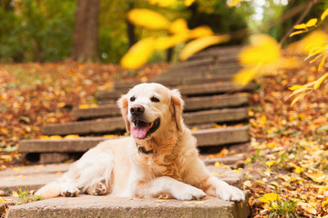 Adorable young golden retriever puppy dog sitting on concrete stairs near fallen yellow leaves. Autumn in park. Horizontal, copy space. Pets care concept.