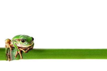 Green frog on white. Environmental concept with tree frog and green bamboo stick. Image included clipping path.