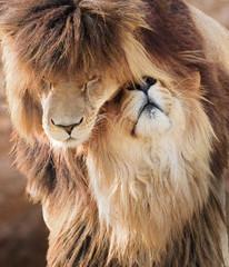 Cuddling same-sex couple of lion males