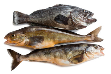 Fresh sea fishes Hildendorf bass and Arabesque greenling bass