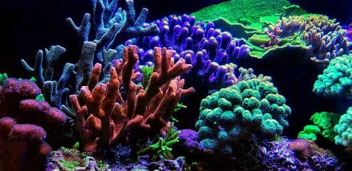 Keuken foto achterwand Koraalriffen Dream Coral reef saltwater aquarium tank scene