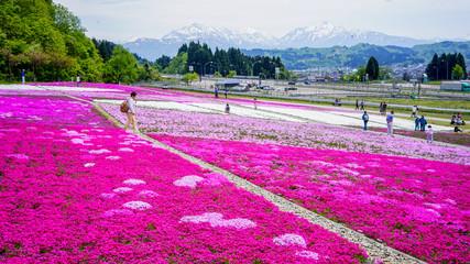 Fotobehang Roze 魚沼奥只見レクリエーション都市公園の芝桜