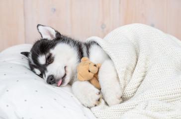 Sleeping Siberian Husky puppy hugging toy bear on pillow under blanket