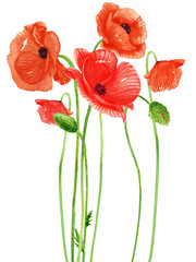 Obraz Poppy flower watercolor Painting on white backgrounds. Hand Drawn Botanical Paintings.Vector. - fototapety do salonu