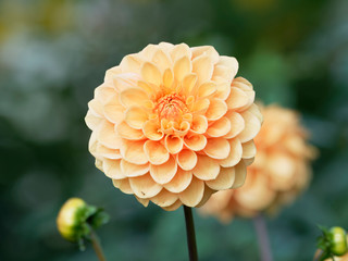 Spoed Fotobehang Dahlia Pompon or ball Dahlias | Beautiful decorative dahlia flower with magnificent blunt petals slightly rounded at their tips