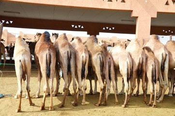 Photo Blinds Camel emirate