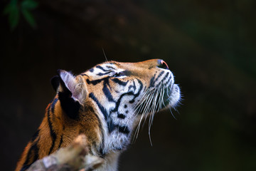 Foto op Plexiglas Tijger Sumatran tiger, Panthera tigris sumatrae, rare tiger subspecies that inhabits the Indonesian island of Sumatra. IndonesiA wILDLIFE
