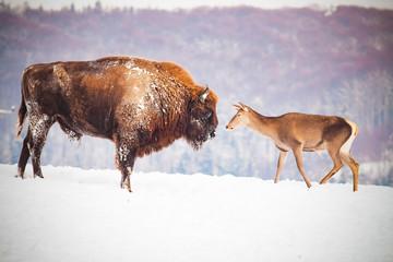 Foto auf Leinwand Bison european bison and deer in winter