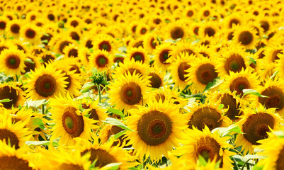 Stores à enrouleur Tournesol sunflower field background