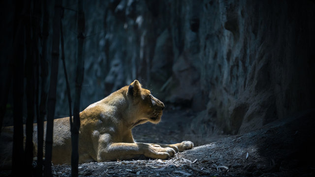 Lioness prowling in the dark