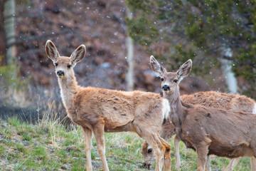 Mule Deer Herd on a Snowy Morning