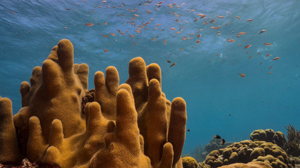Seascape of coral reef in the Caribbean Sea around Curacao with Pillar Coral and sponge