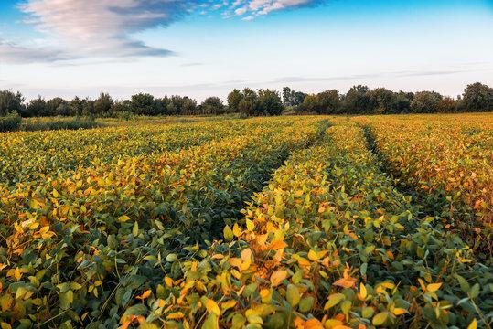lush soybean field