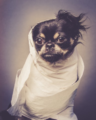Small Cute Black Chihuahua Dog Wrapped in Toilet Paper Looks Like A Mummy Halloween Costume