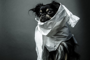 Dog Portrait Small Cute Black Chihuahua Dog Wrapped in Toilet Paper Looks Like A Mummy Halloween Costume