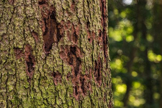 Borkenkäfer verursachen Waldsterben im deutschen Wald