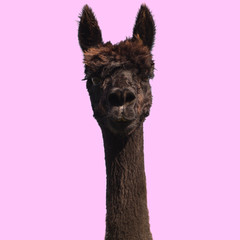 Photo sur Aluminium Lama Black alpaca on pink background