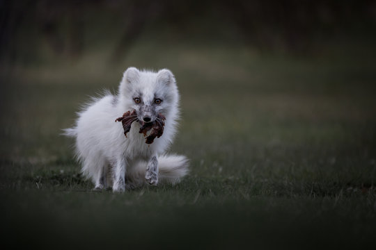 Artic fox in the Highlands