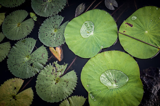 Lotus leaf in a pond, Kampong Thom province, Cambodia