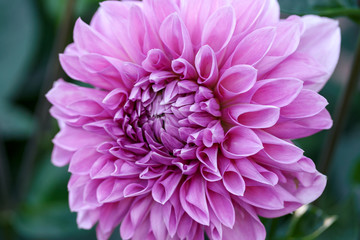 Beautiful pink dahlia Cotton candy flower blossoming in summer garden