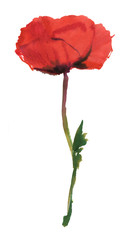 Red poppy on a green stem. Drawing watercolor isolated on white background
