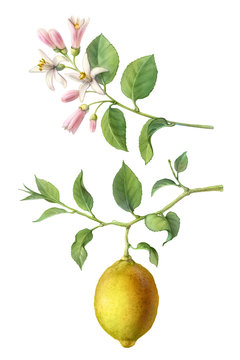 Lemon Tree Fruit and Flowers Hand-drawn Pencil Illustration Isolated on White