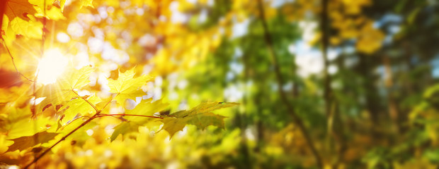 Wall Mural - yellow maple leaves in autumn with beautiful sunlight