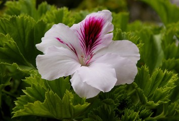 pretty flower of geranium potted plant close up