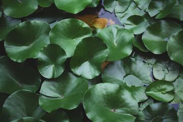 Foto op Canvas Waterlelies Water lilies background