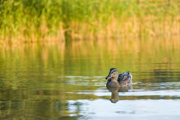 Fototapeta dzika kaczka płynie po jeziorze trzciny obraz