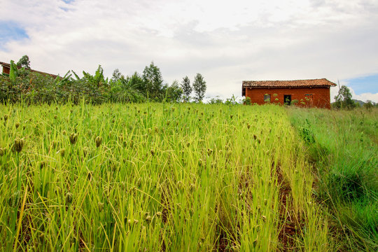 Field of Finger Millet with a Small Farmer Home in the background in the Rural area of Burundi