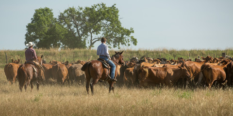 Cowboy rounding up cattle