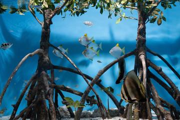 マングローブと淡水魚