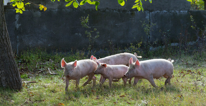 Feral domestic pigs feed on the gifts of nature. Potential vectors African swine fever virus.