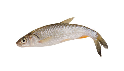 Small chub fish isolated on white background