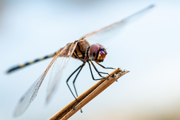 Macro photo of a Dragon fly