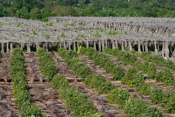 Pepper Plantation in Kampot province, Cambodia