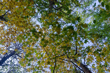 Looking up to fall colored leaves in a deciduous forest