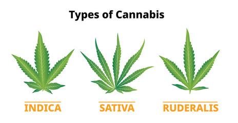 Types of cannabis, marijuana leaves comparison, Vector