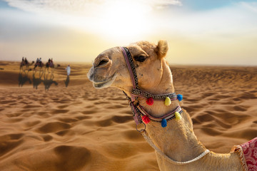 Camel ride in the desert at sunset with a smiling camel head