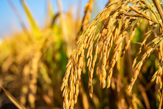 Golden yellow rice ear of rice growing in autumn paddy field