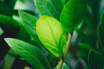 texture of tropical flower leaves, large foliage nature dark green background