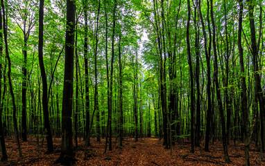 Buchen-Urwald in Deutschland