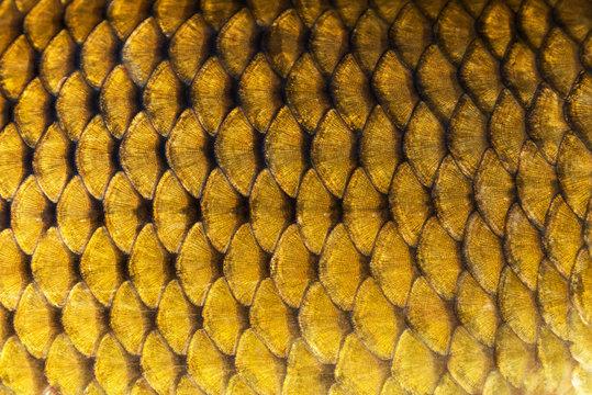 Big wild carp fish pattern textured skin scales macro view.