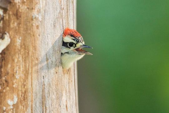 downy woodpecker (Dryobates pubescens) at nest
