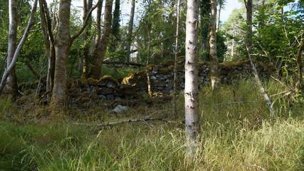 Wald mit Birken und einer alten Mauer